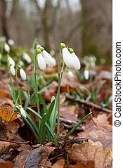 Spring flowers- snowdrops - Spring flowers- white snowdrops...