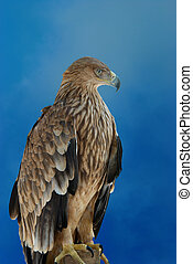 A hawk eagle on the blue sky background.