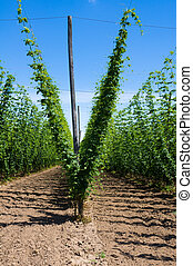 Hop plants on trellis - Field of hop plants growing on...