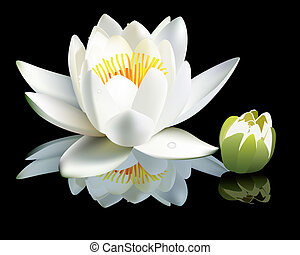 white water-lily flower and bud on a black background