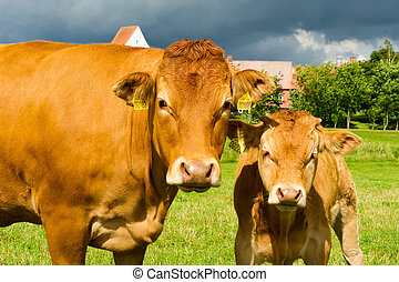 Limousine Cows standing on the meadow