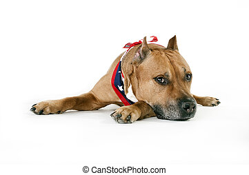 American Staffordshire Terrier isolated and lies on a white...