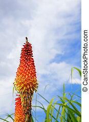 Torch Lily sky - Yellow, orange, red torch lily against blue...