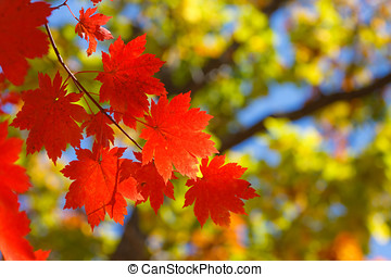 Autumn contrasts - bright autumn leaves in the natural...