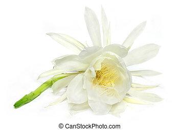 Night queen flower over white backg