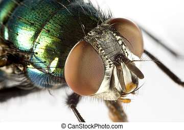 house fly in extreme close upon light background with...