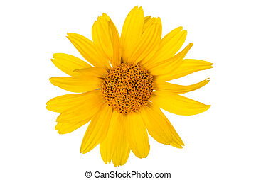 Daisy flower  - Yellow daisy flower on white background