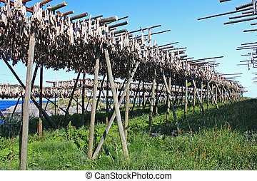 dried fish - Drying fish in Moskenesoya, Lofoten Islands