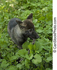 Canadian black wolf child, wolf cub - A wolf is in the taiga...