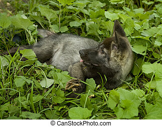 Canadian black wolf child, wolf cub