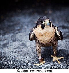 Peregrine Falcon - Falco peregrinus one the ground at...