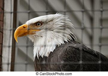 Bald Eagle in Rehabilitation Center