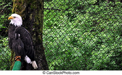 Bald Eagle in Rehabilitation Center