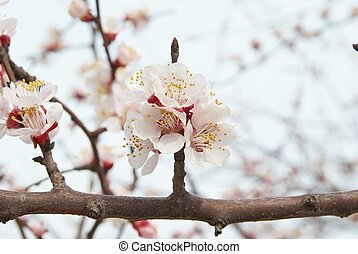 Almond tree pink flowers - The almond tree pink flowers with...