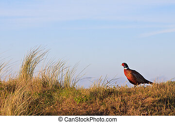 Pheasant male bird standing on a hill at sunrise