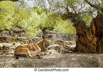 Donkey mule sitting in Mediterranean olive tree shade in...
