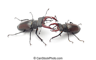 stag beetle - Stag beetles fighting, isolated on white