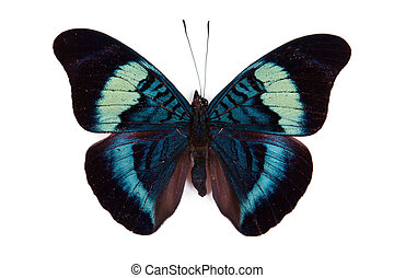 Black and blue butterfly Panacea prola isolated on white...