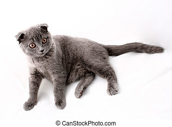 Cat portrait, Maine coon - Cat on white background, Maine...