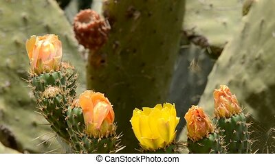 prickly pear -  prickly pear