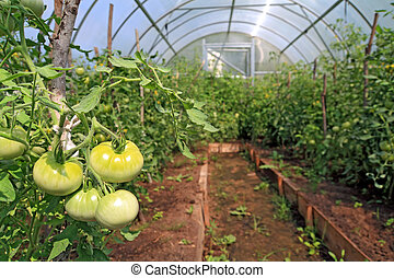 green tomatoes in plastic to hothouse