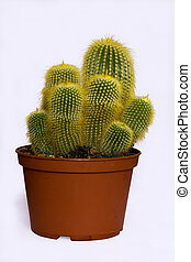 green spiny cactus - beautiful bright green cactus in the...