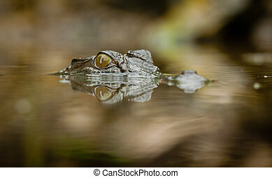 Crocodile with refelction in water