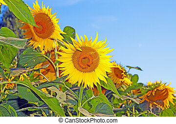 Sunflower standing inside a field with blue sky