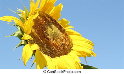 summer scene with bee and sunflower