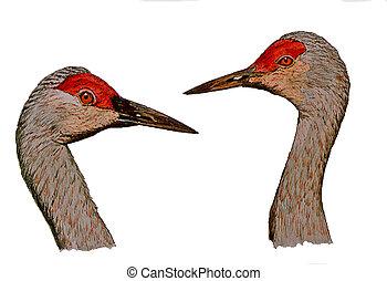 Sandhill Crane heads 2 - Sandhill Crane (Grus canadensis)...