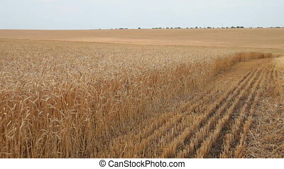 wheat field during harvest