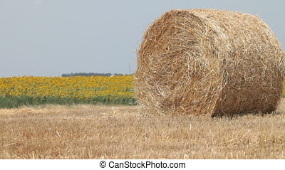 Hay Bales in the background field of  blooming sunflowers