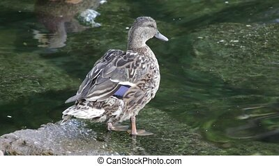Two ducks in shallow water - Close up of two ducks swapping...