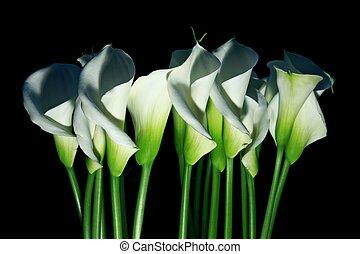 Arum lilies Zantedeschia aethiopica - Several arum lilies...