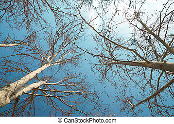 Spring treetops with blue sky and clouds