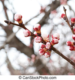 Almond pink buds - Pink buds on the almond branch tree