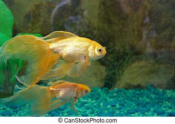 Tropical golden fish in aquarium