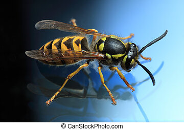 wasp - Wasp with reflection, image on blue background