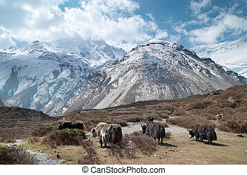 Landscape with yaks and mountains. - Tibetan landscape with...