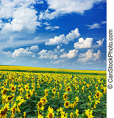 Big field of sunflowers Composition of nature