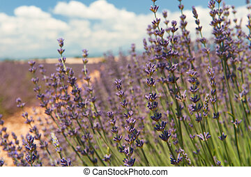 Lavender fields in the French Provence