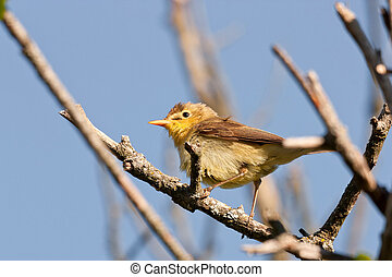 Melodious Warbler Hippolais polyglotta on a branch against...