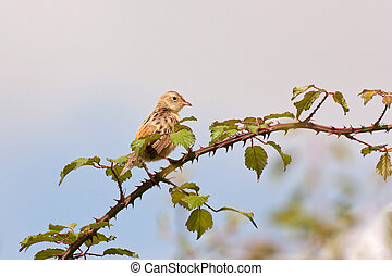 Streaked Fantail Warbler (Cisticola juncidis) on a branc...