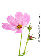 Cosmos flowers - Pink Cosmos flowers with buds isolated over...