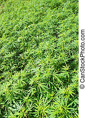 Field of green marijuana (hemp) can be used for background.