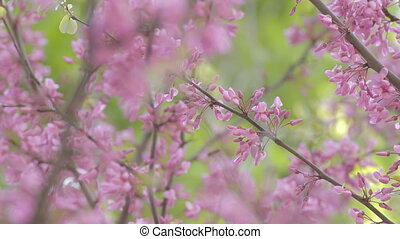 Wind swaying acacia branches in bloom - Acacia branches,...