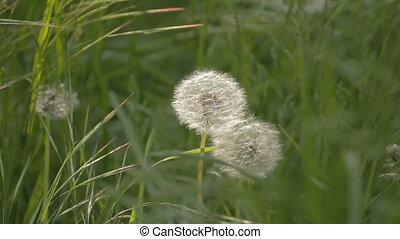 Couple of dandelions among weeds on