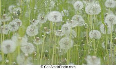 Wind rustles green weed and dandeli