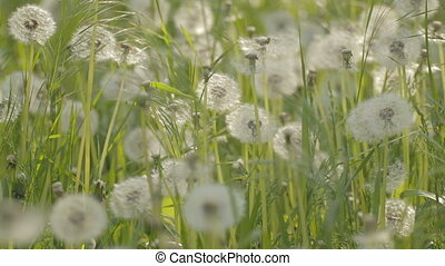Dandelions in grass rattling from w