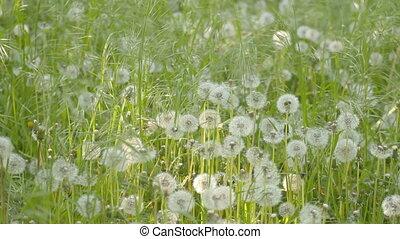 Wind rustles green weed and dandeli - Wind rustles green...